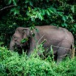 Elephant in Borneo tropical forest